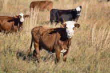cattle in the field